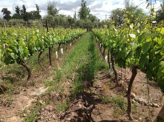Bodega Cavagnaro: vineyards