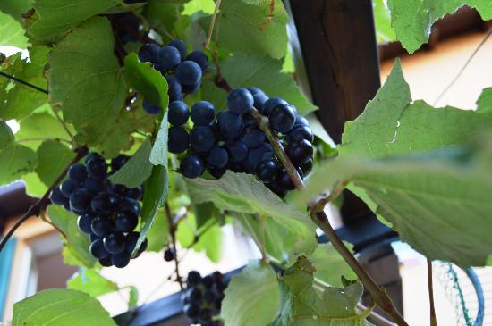 Hotel Centrale: Grapes on the terrace