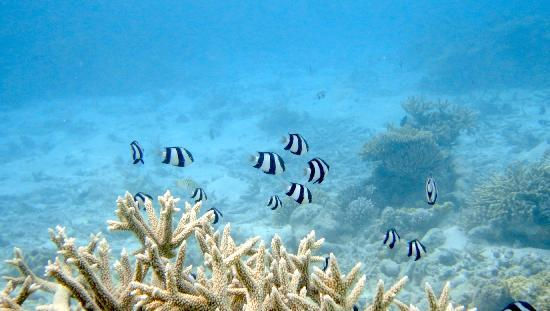 Vakarufalhi Island Resort: Snorkeling with Indian butterfly fishes