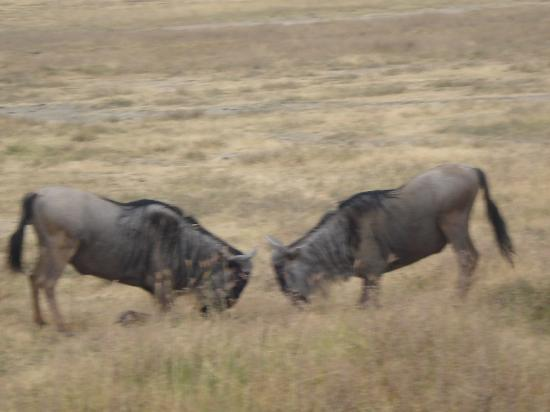 Ngorongoro Serena Safari Lodge: wildebeast fighting in the crater
