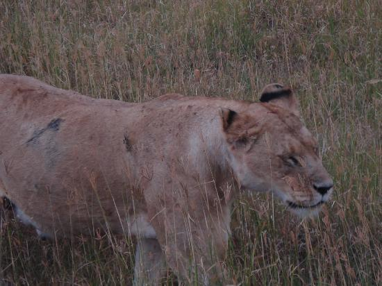 Ngorongoro Serena Safari Lodge: a lioness in the crater