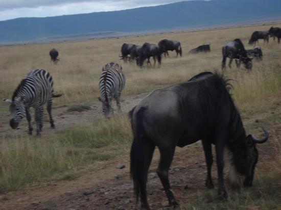 Ngorongoro Serena Safari Lodge: zebra & wildebeast in the crater