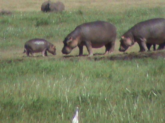 Ngorongoro Serena Safari Lodge: hippo in the crater