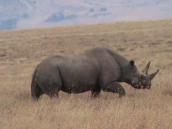 Ngorongoro Serena Safari Lodge: black rhino in the crater