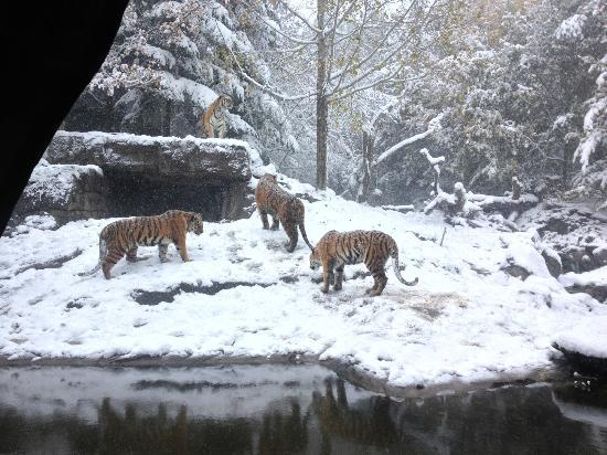 Zoo Zurich: tigers playing in the snow