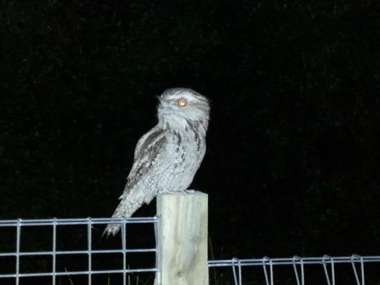 Ocean Parade Motel: Tawny Frogmouth Owl in the park accross the road