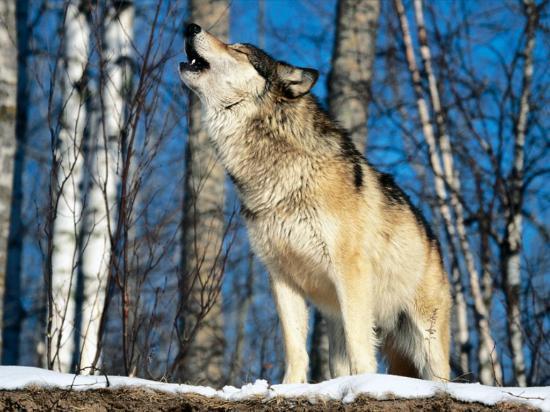 Wolfcenter