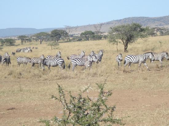 Serengeti Serena Safari Lodge: zebras at serengeti
