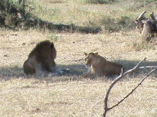 Serengeti Serena Safari Lodge: lions after mating