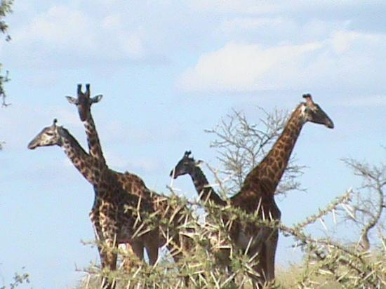 Serengeti Serena Safari Lodge: masai giraffes of serengeti