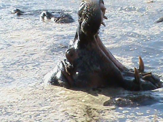 Serengeti Serena Safari Lodge: a big yawning hippo at serengeti