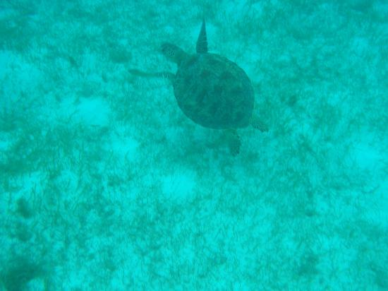 Palm Island Resort & Spa : Turtles at the Cays