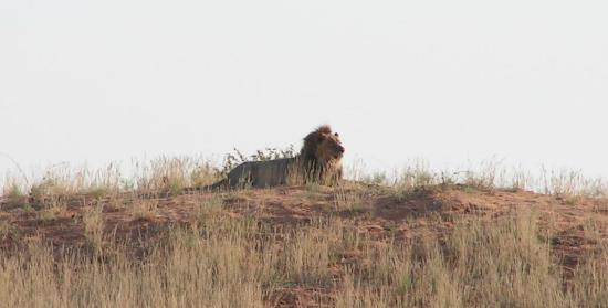 Upington, Sudáfrica: Lion on dune