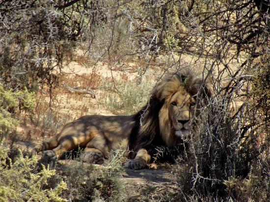 Inverdoorn Game Reserve: Barbary Cape Lion
