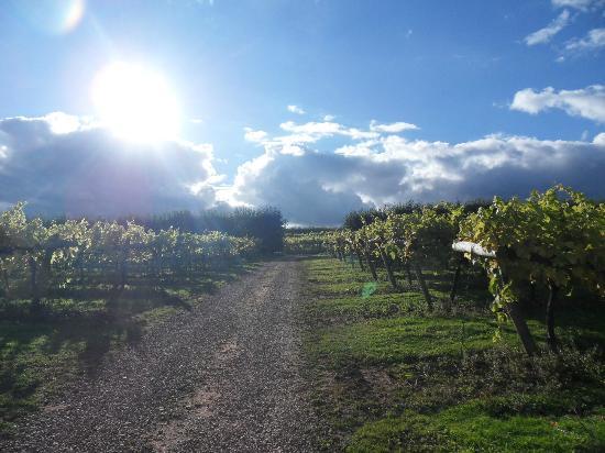 Three Choirs Vineyard : Vineyard
