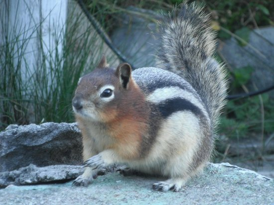 Crescent Motel: Golden-Mantled Ground Squirrel