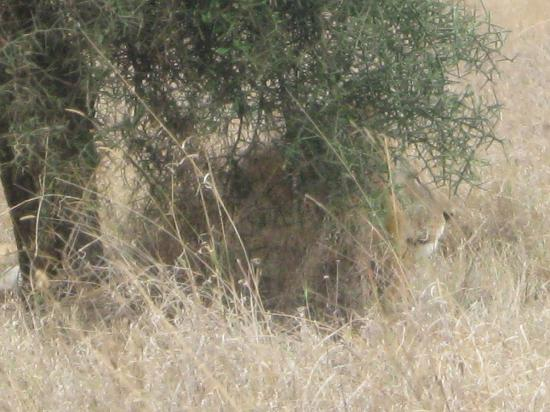 Nairobi National Park: Lions behind the tree