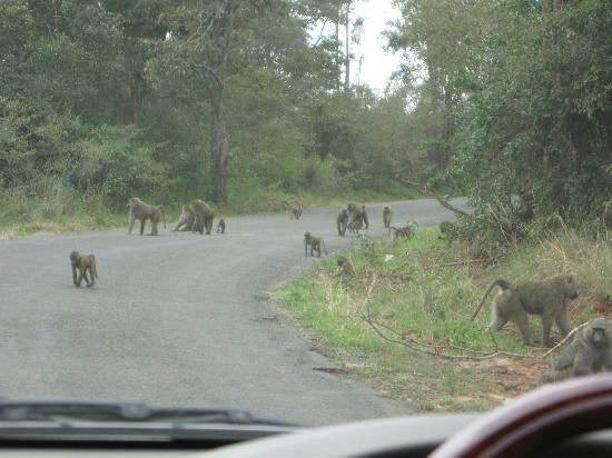 Nairobi National Park: Baboons!