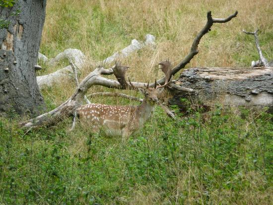 Jægerborg Dyrehave: Deer