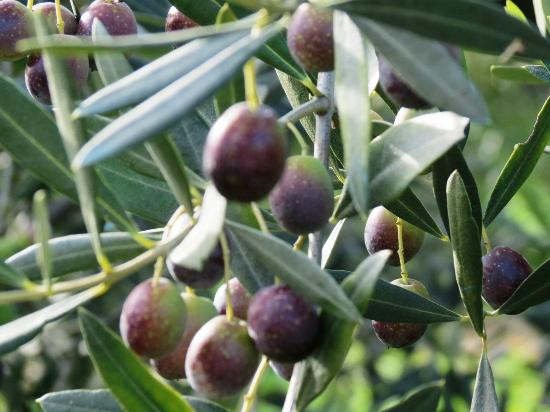 The Spice Lab: Olives in their orchard