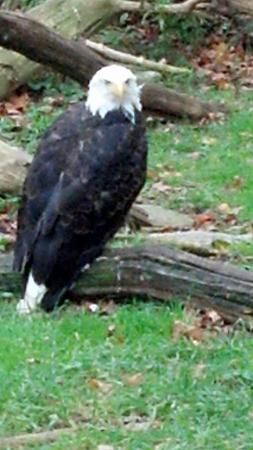 New York State Zoo at Thompson Park : Bald Eagle