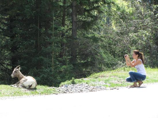 Banff Rocky Mountain Resort: Wildlife on road to Lake Minnewanka
