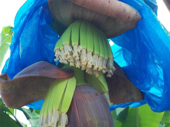 A-Touring Services Private Tours: Young Banana plants on a plantation