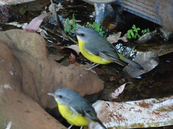 ‪‪Ravensbourne Forest Chalets‬: neighbours (Eastern Yellow Robin)