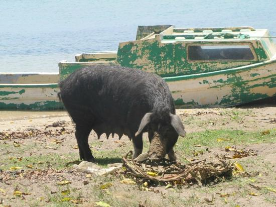 Sandy Beach Resort: Pig at Faleloa