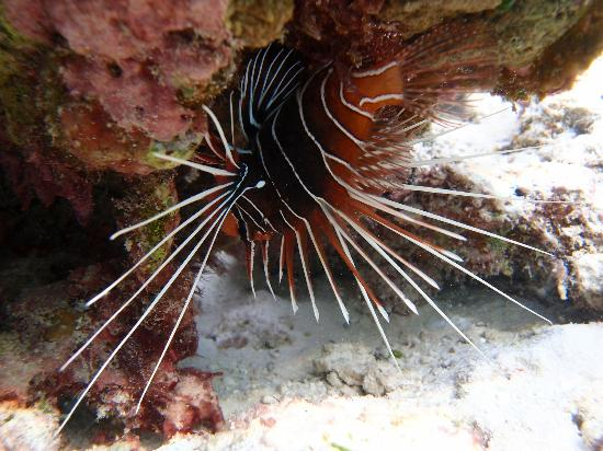 Club Med Kani: Lion fish at the lagoon during snorkeling