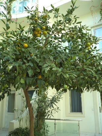 Turihan Hotel: orange tree - just ripe for picking