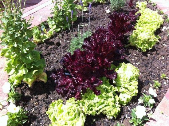 The Robertson Small Hotel: Lettuce and garden patch