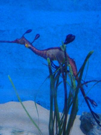 Underwater World Langkawi: seahorse