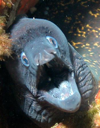 Orso Diving Club: murena !!!/ moray