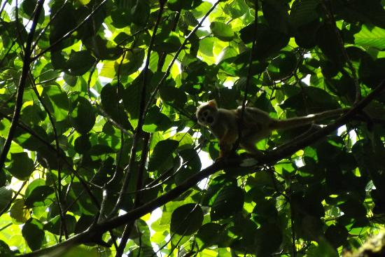 Tapiche Reserve: Squirrel monkey