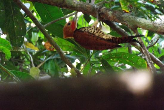 Tapiche Reserve: Ringed Woodpecker