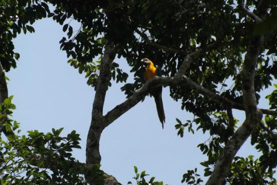 Tapiche Reserve: Glod and Green Macaw