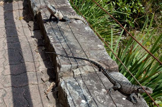 Windermere Manly Bed and Breakfast : Don't miss the local water dragons
