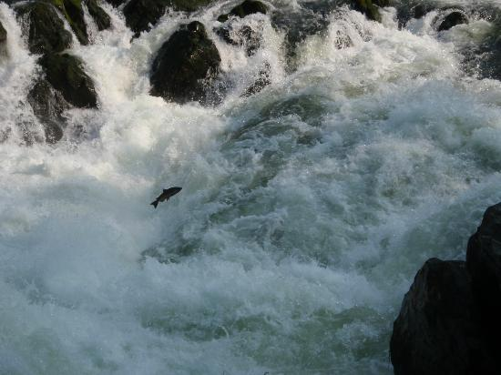 Morrisons Rogue Wilderness Adventures: Salmon Jumping in the Rogue River