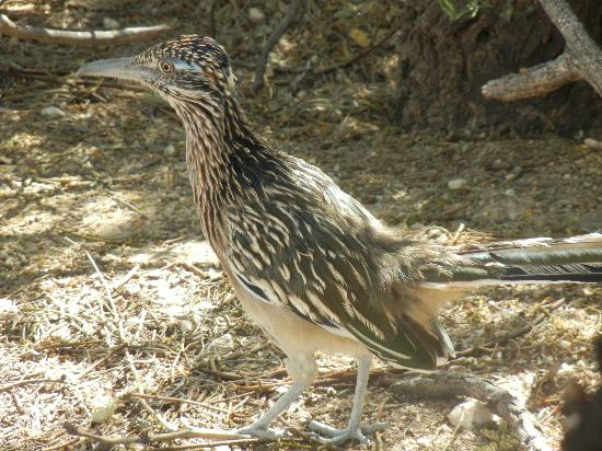 Hacienda del Desierto Bed and Breakfast: Roadrunner...