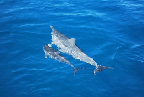 Aston Aloha Beach Hotel: Holo Holo excursion Dolphin with baby
