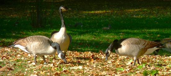Geese Plumping Up, Lincoln Park