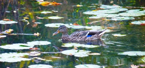 Lincoln Park: Duck Swimming in the Impressionistic Reflections, Alfred Caldwell Lily Pool