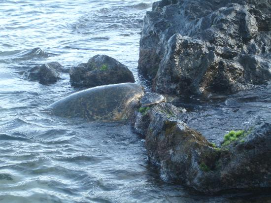 Napili Kai Beach Resort: Green Back Turtle on Beach