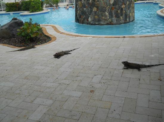 Elysian Beach Resort Iguana Family At The Pool
