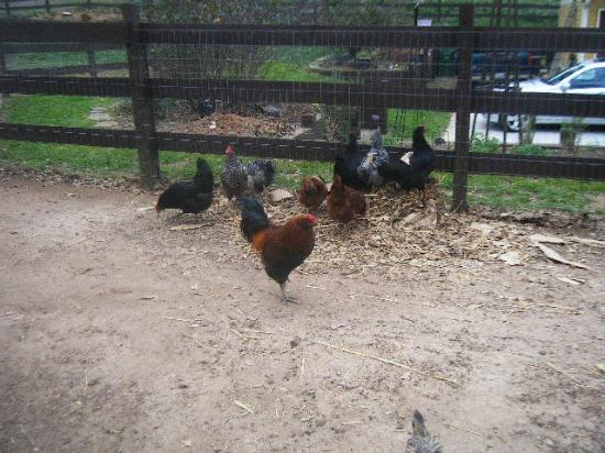 The Social Goat Bed & Breakfast: Chickens!