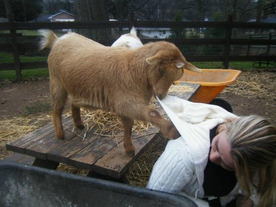 The Social Goat Bed & Breakfast: Sherman chewing on Kristy, the owner