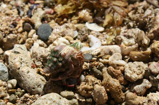 Yerba Buena Guest Cabins: A hermit crab found on the beach