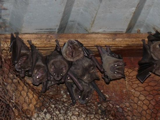 Tree House Lodge: Bats living under our roof (they're fruit bats as we were told...)