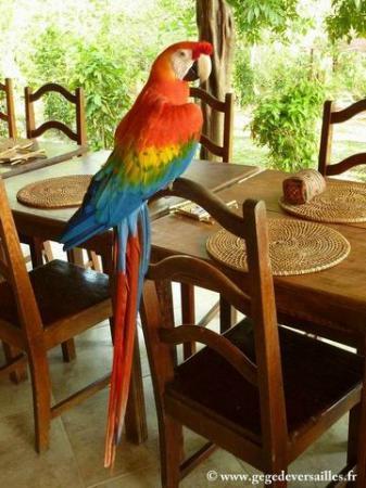 Amazon Ecopark Jungle Lodge : Un ara assez espiègle au petit déjeuner.